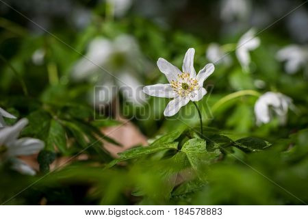 White Flowers Of Wood Anemone In Spring Forest After Rain