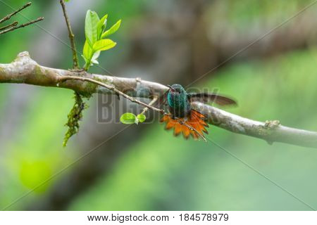 The rufous tailed hummingbird (Amazilia tzacatl) cleans its wings (bird is slightly motion blurred). Costa Rica