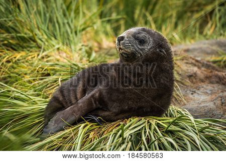 Antarctic Fur Seal Pup On Grass Tussock
