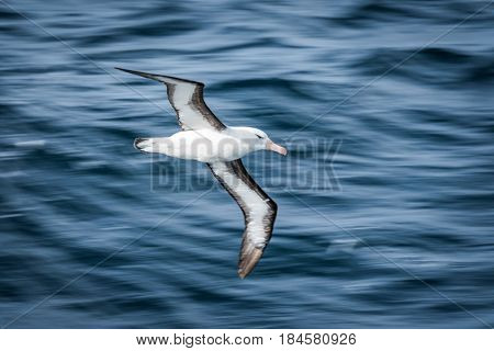 Black-browed Albatross Gliding Over Deep Blue Waves