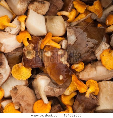 Raw Fresh Edible Clean Cut Mushrooms Chanterelles And Boletus Edulis Top View And Close Up.