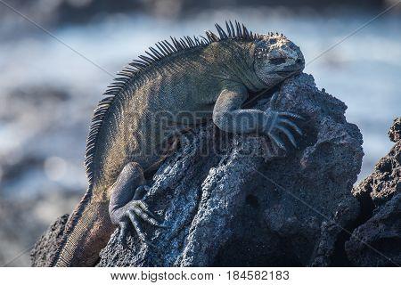 Marine Iguana Sleeping On Black Volcanic Rock