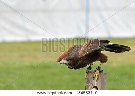 Bird of Prey getting ready to fly from a wooden post
