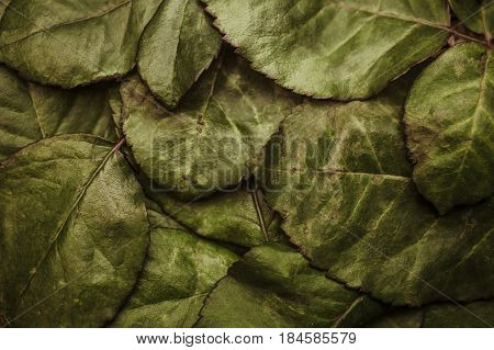 The texture of old rose leaves macro