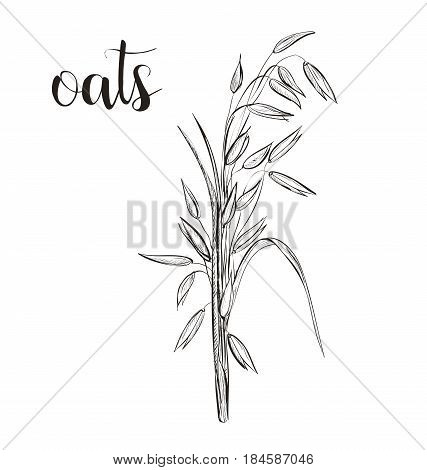 Oats sketch hand drawing. Vector illustration. art