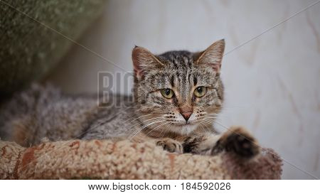 Portrait of the striped green-eyed lying cat.