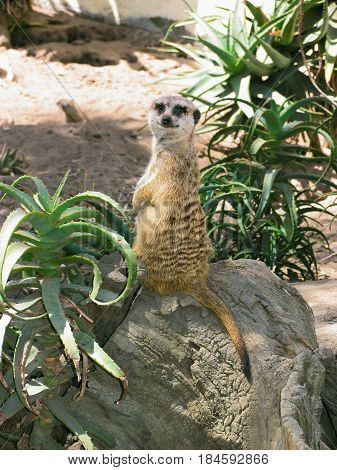The MEERKAT, OR SURICATE IS A SMALL CARNIVORE, BELONGING TO THE MONGOOSE FAMILY