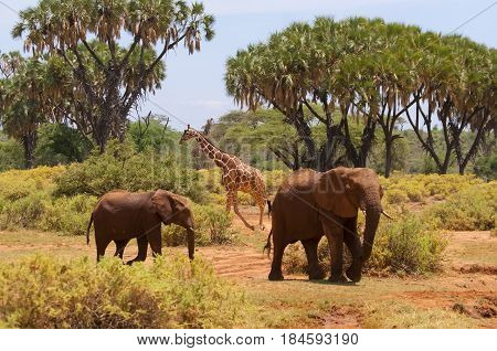 two elephants elephants and giraffes animals of Africa