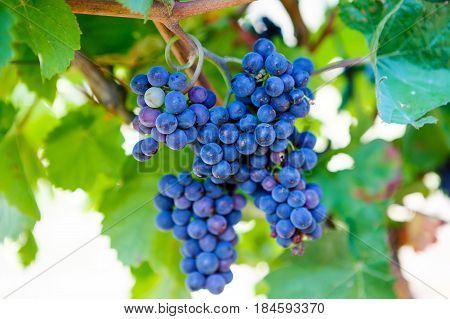 Blue Grapes ready to harvest made by a vintner in an established winery. Famous vineyard near Mosel and Rhine in Germany. Making of delicious red wine.
