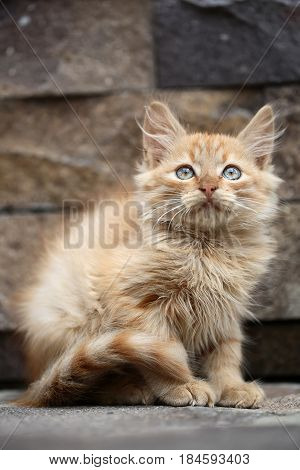 Cat. Cute kitty cat or kitten pet small young domestic animal with red fluffy fur coat tail green eyes and whiskers sitting outdoors on stone wall. Good fortune and luck