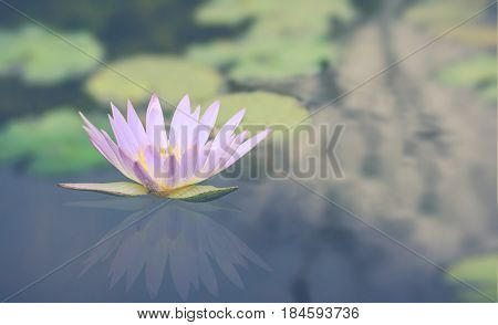 Blossom pink lotus flower on the water with green leaf on blur background