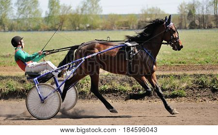 Orel Russia - April 30 2017: Harness racing. Brown horse running fast with a sulky horizontal