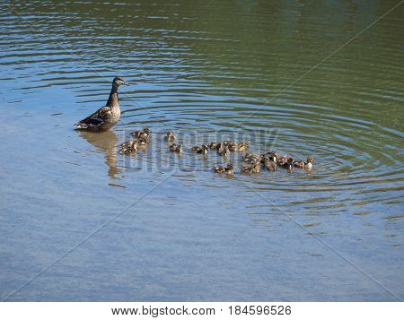 The mother Mallard has a brood of 20 goslings. This is the largest number that has been seen in many years.