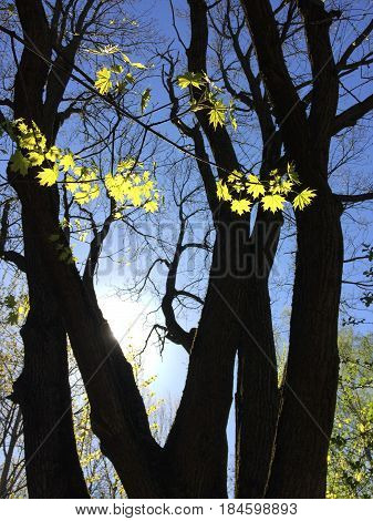 Maple leafs shining in backlit against of black trees trunks. Springtime theme.