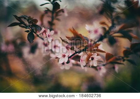 Spring Cherry blossoms, pink flowers. Tonned picture