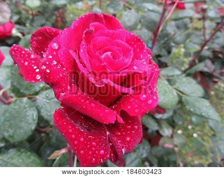 Single red rose flower with water droplets in spring