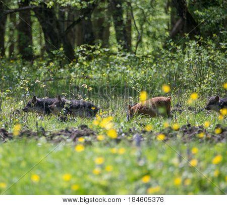 little pigs grazing in a meadow foliage