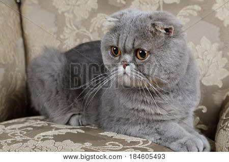 Scottish Fold cat is lying on the couch. Animal portrait