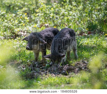 Grazing On The Spring Meadow Little Pigs