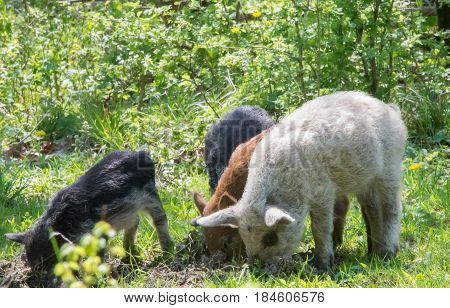 Young Kinky Pigs Grazing In The Grass