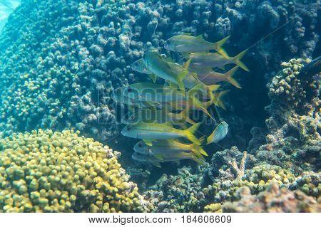 A shoal of yellowfin goatfish (Mulloidichthys vanicolensis)