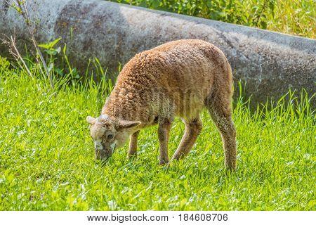 Little lamb grazing in a bright green meadow