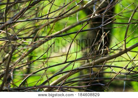 Naked tree branches with buds in spring time green foliage background awakening nature tranquility purity concept