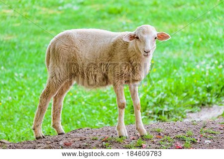 Little young lamb on a background of green grassy pastures. Agricultural scene with limited depth of field.