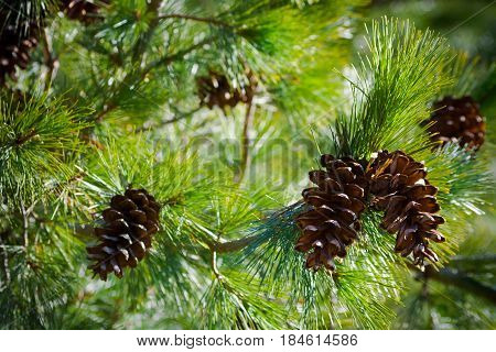 five  cone on spruce branches, a view from the bottom up,  spring, summer,beautiful view, bright day, sunny