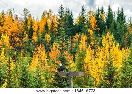 Bald Eagle in Alaska forest in autumn.
