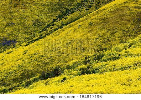 Rolling hills with wildflowers during spring taken at the Temblor Hills in the Carrizo Plain, CA
