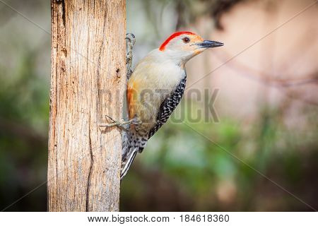 Red-bellied woodpecker on an old wooden post