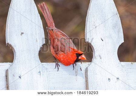 Male cardinal on a white fence getting ready to take off