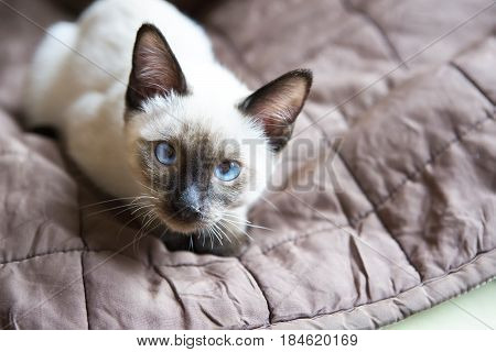 the kitten(Siamese type Mekong bobtail) lies on a cover and looks in a lens