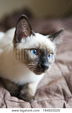 the kitten(Siamese type Mekong bobtail) lies on a cover