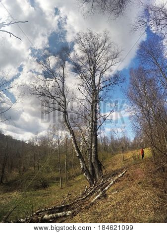 birch in a ravine at the beginning of spring
