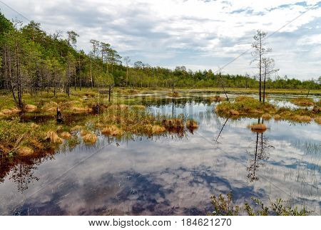 Summer. Impenetrable swamp in the Siberian taiga