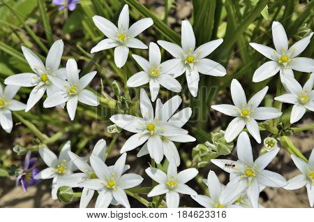 First white spring flowers and buds of Star-of-Bethlehem (Ornithogalum umbellatum) close up and little ant with pollen