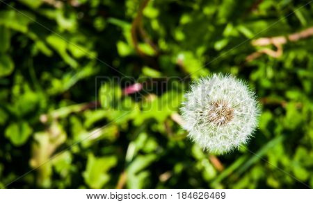 close up of a dandelion on a meadow