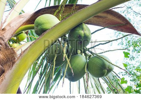 Closer Coconut cluster on Tree of sea sky bright atmosphere. Coconut cluster on coconut tree. Green coconut Fruit