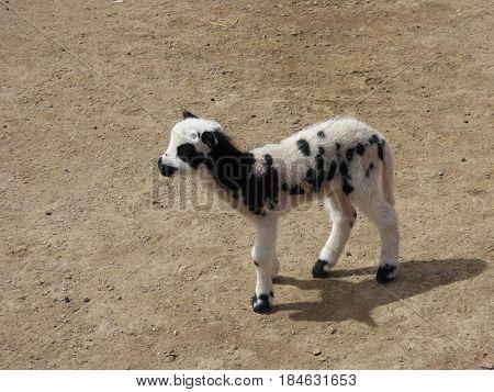 A Jacob lamb. The Jacob sheep go back Biblical times.