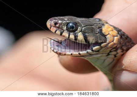 Grass Snake in the human hands. Natrix natrix.