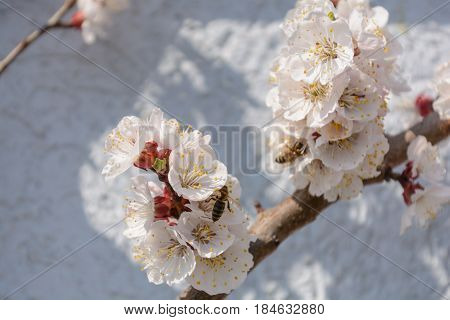 Busy honeybees pollinating a apricot tree - close-up