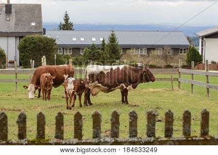 Organic cattle on fenced pasture - several dairy cows and calves