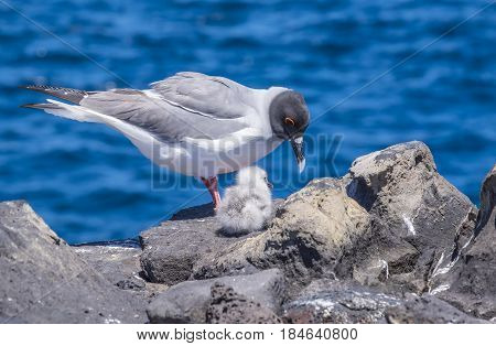 Swallow-tailed Gulls with Baby Chick on a Cliff