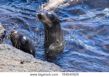 Two Playful Sea Lions in the Ocean