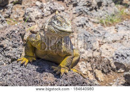 Large Yellow Land Iguana on South Plaza, Galapagos Islands, Ecuador