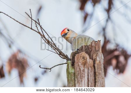 Red-bellied woodpecker hides behind a tree stump