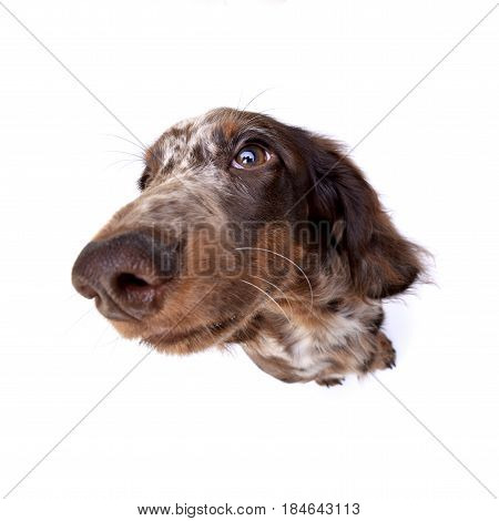 Wide Angle Portrait Of A Cute Dachshund Puppy
