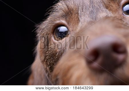 Portrait Of A Cute Dachshund Puppy